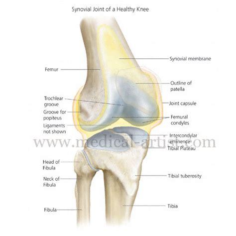 mri knee anatomy