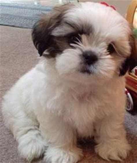 shih tzu x maltese puppies for sale nsw australia ads for pets animals gt dogs puppies 220 free classifieds muamat