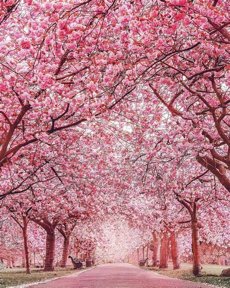 cherry blossoms 17 8k likes 286 comments love great britain