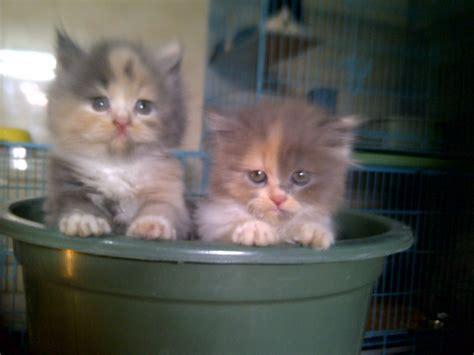 anak kucing lucu ras persia kumpulan gambar kucing lucu