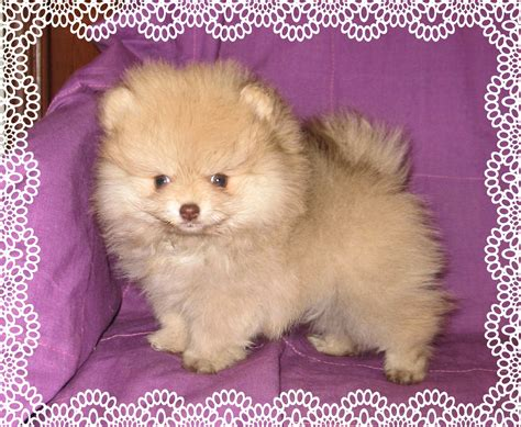 pomeranian colors photos pomeranian colors poofy poochies