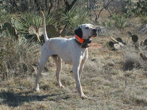 what are bird dogs pointer bird dogs for sale breeds picture