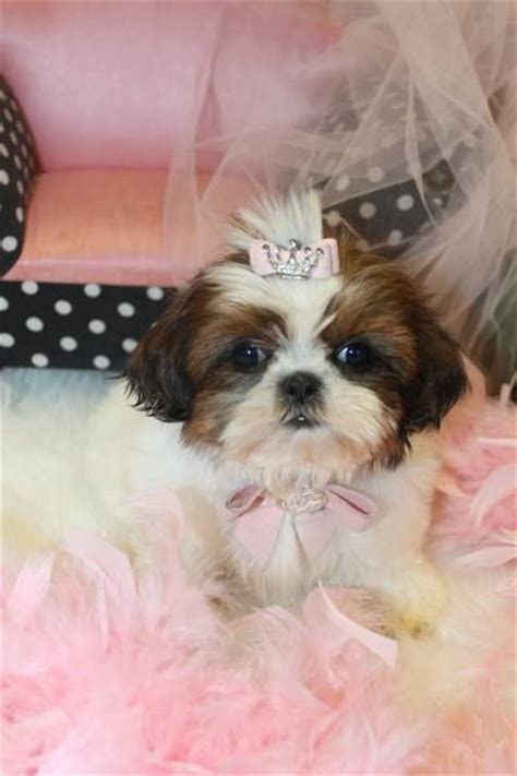shih tzu puppies for sale florida teacup shih tzu puppy for sale in florida cutest tiny puppies for sale