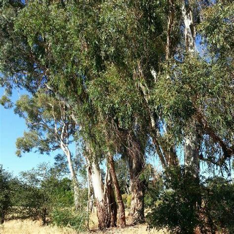 Eucalyptus Trees Eucalyptus Trees Bisbee Pinterest