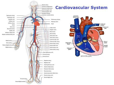 diagram of the circulatory system anatomy charts