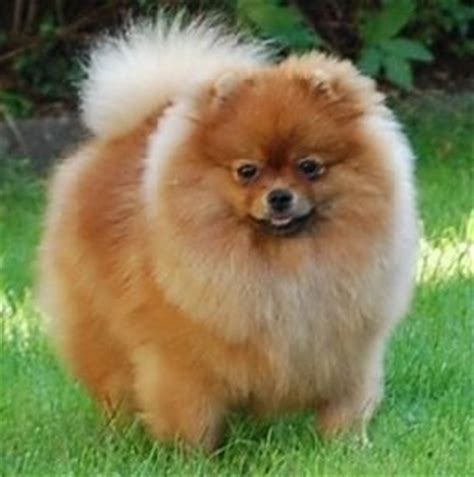 chien pomeranian 25 best ideas about chien spitz on spitz pomeranian spitz pomeranian