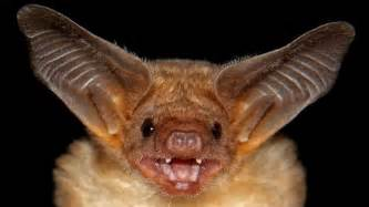 video you can now listen to mexico s chattiest bats