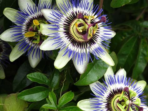passiflora coltivazione in vaso fiore della passione passiflora passiflora