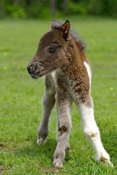 baby horses on pinterest   horses, appaloosa and cute baby