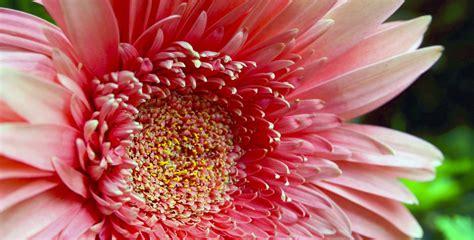 fiori mese di luglio fiore mese di luglio la gerbera floraqueen italia