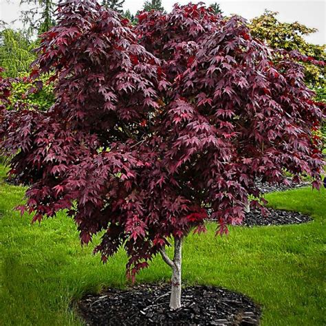 maple tree for sale purple ghost japanese maple for sale the tree center