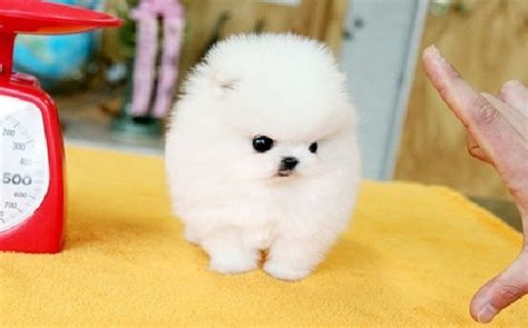 pomeranian disposition teacup pomeranian for sale with price and from breeders