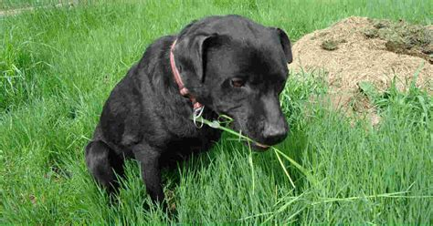 why dogs eat grass why do dogs eat grass