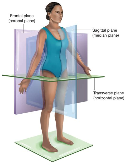 describe a parasagittal plane of section the planes of the body the sagittal plane is vertical