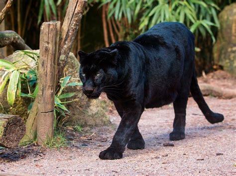 Black Leopard infrared trap catches black leopard s spots