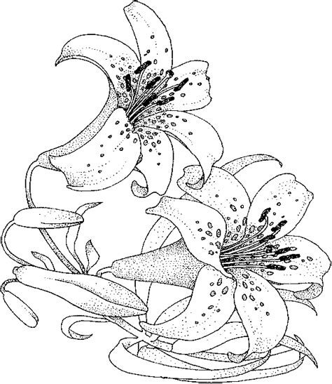 lily flower coloring pages flower coloring page