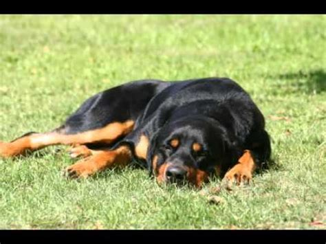 information about rottweilers rottweiler facts facts about rottweilers