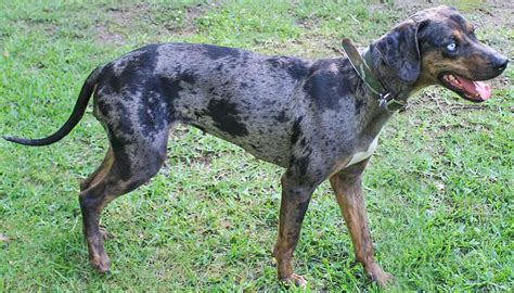 catahoula leopard puppies for sale catahoula leopard puppies for sale by top breeders