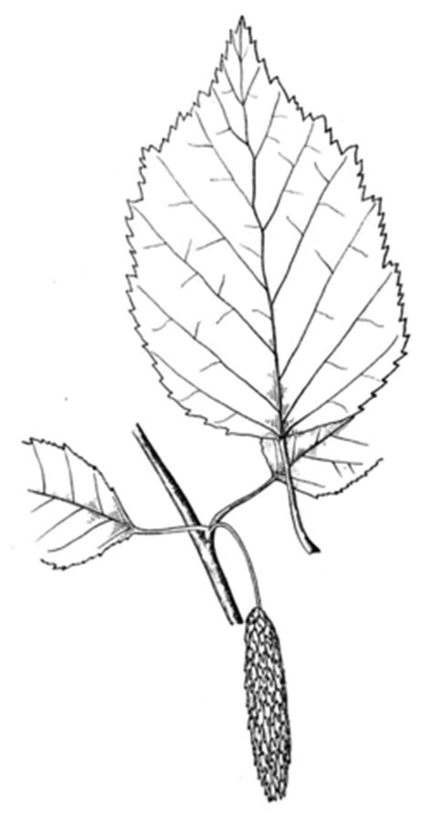 birch leaf coloring page paper birch or white birch or canoe birch leaf coloring