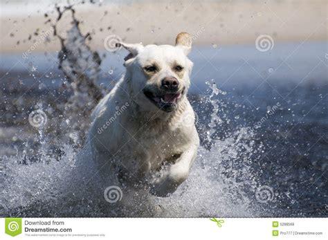 lab puppies indiana labrador retriever in royalty free stock photos image 5288568