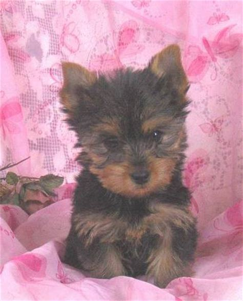 yorkie poo for adoption yorkie poo puppies for sale in toronto ontario photo breeds picture