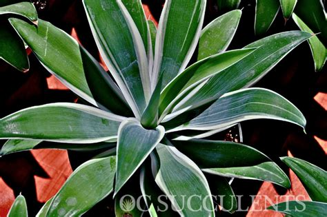 agave of light agave attenuata of light orange county succulents