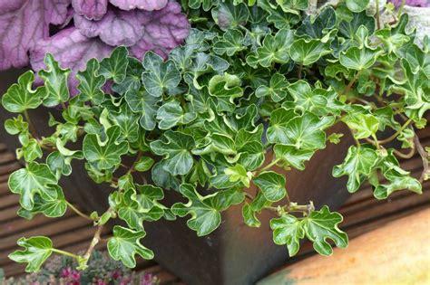 Planter Lierre Grimpant by Lierre Planter Cultiver Tailler Page Sep