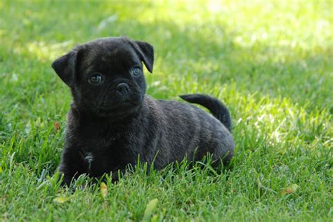 pug for sale toronto bug boston terrier x pug puppies toronto dogs for sale puppies for sale