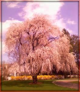 pretty trees willow tree pretty 06880