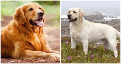 golden retriever versus labrador retriever jakiego psa wolisz