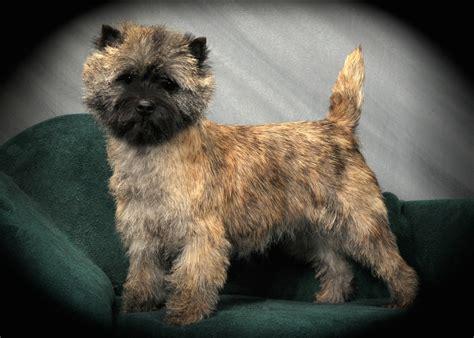 brindle cairn haircut meet the cairn terrier cairn terrier club of america