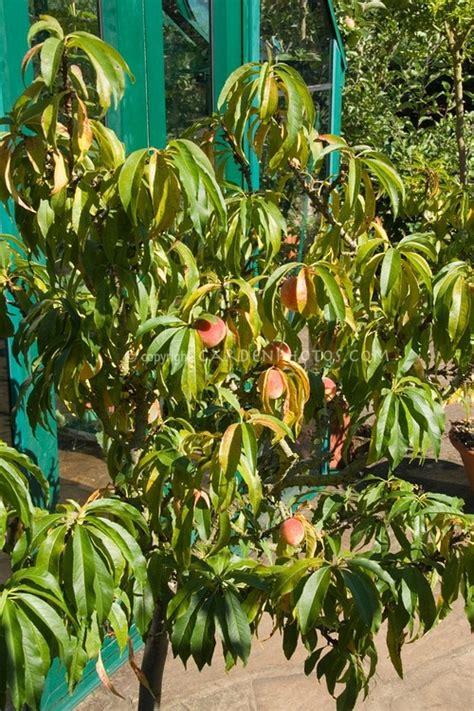 backyard peach tree 57 best fruit trees dwarf images on pinterest fruit