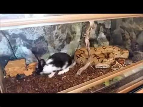 how a boa constrictor snake catch their food youtube