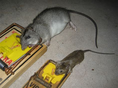 house rat rat photograph gallery pictures images