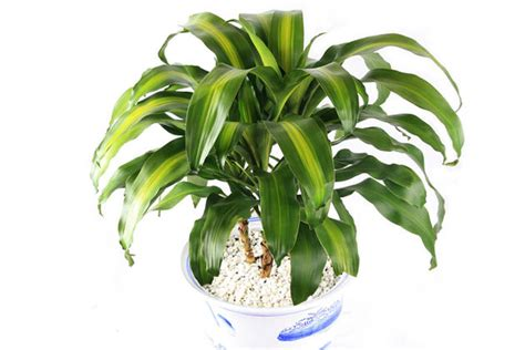 corn plant common house plants 10 household plants that are dangerous to dogs and cats