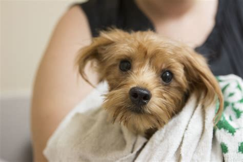 yorkies up for adoption swed humane society cuts adoption requests for yorkies mar times