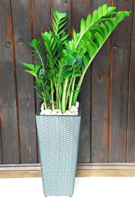 Office Pots 65 best images about zamioculcas plants on pinterest