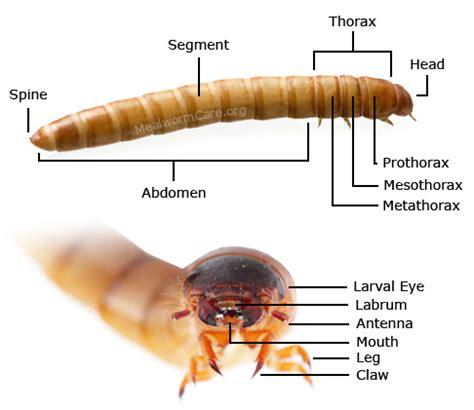 mealworm anatomy