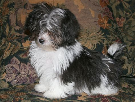 best brush for havanese picture of havanese breeds picture