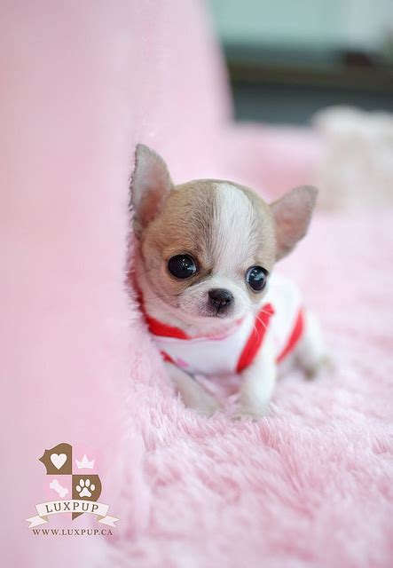 how much are teacup puppies teacup chihuahua flickr photo