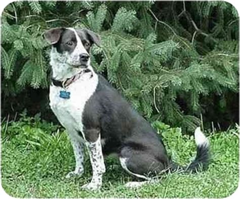 border collie pug chessie adopted tiffin oh border collie pug mix