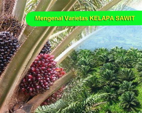 Minyak Kelapa Sawit Di Indonesia 8 varietas unggul kelapa sawit sifat keunggulan dan ciri