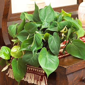 vining house plant that is trained to cover the ceiling philodendron