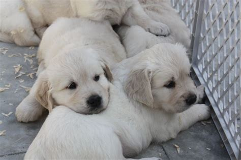 golden retriever puppies for sale toronto 1000 ideas about golden retrievers for sale on golden retrievers golden