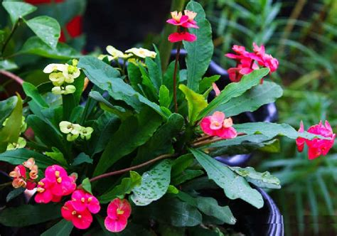 Pupuk Bunga Euphorbia cara merawat bunga euphorbia merawat tanaman