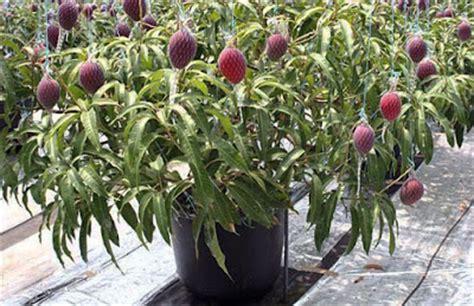 Pupuk Kalsium Untuk Mangga cara menanam mangga agar cepat berbuah lintangsore