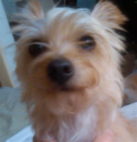 chihuahua mixed with yorkie terrier pin yorkie terrier mix on