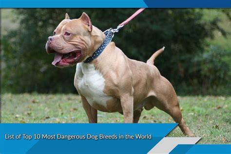 top 10 dangerous dog breeds in the world most dangerous dog breeds in the world top ten list