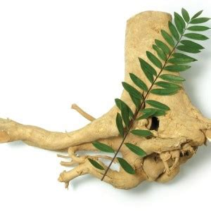 Pasak Bumi Akar Kilo An Tongkat Ali khasiat dan manfaat dari tanaman toga yang sebagai obat