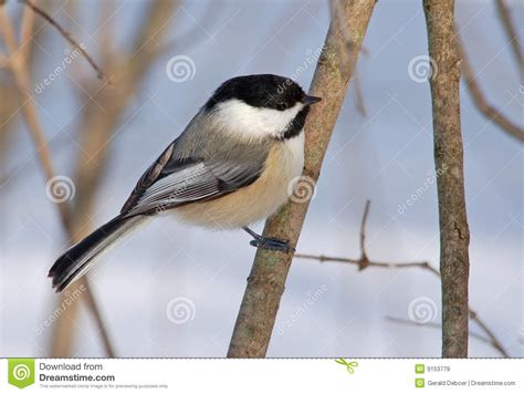 black capped chickadee royalty free stock images image